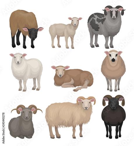 Slika na platnu Flat vector set of cute sheeps and rams