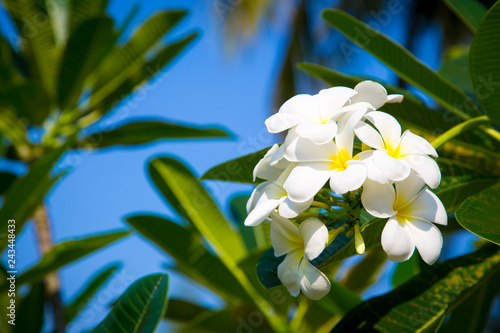 Photo sur Aluminium Frangipanni Plumeria flowers are white and yellow are Blossoming on tree. Natural background.