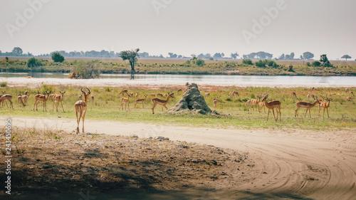 Photo Stands Antelope Herde Impalas mit Männchen im Vordergrund in den Chobe flood plains, Botswana