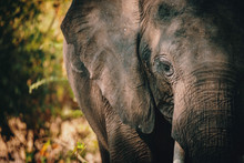 Close Up Eines Afrikanischen Elefanten (Loxodonta Africana), Chobe Flood Plains, Botswana,