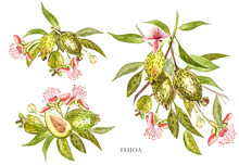 Watercolor Illustration Feijoa Plant. Hand Drawn Watercolor Painting On White Background. Watercolor Background With Feijoa Fruit, Leaves And Feijoa Slice.