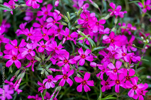 Foto op Canvas Azalea Pink flowers phlox bloom on a flowerbed on a bright, sunny day_