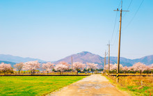 Spring Pink Cherry Blossoms Ro...