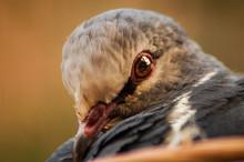 Portrait Of A Dove Bird