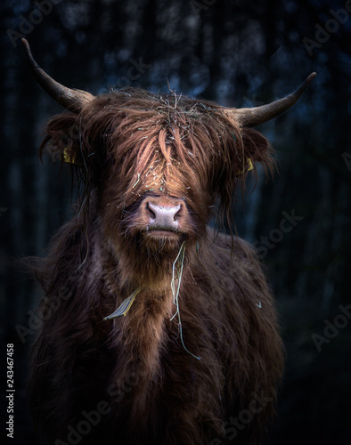 Spoed Fotobehang Schotse Hooglander Schottisches Hochlandrind (Bos Taurus) im Portrait vor kühlem Hintergrund
