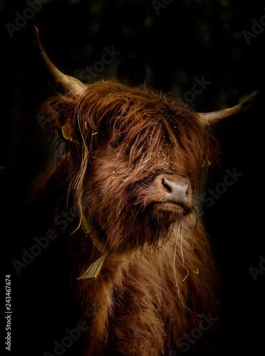 Schottisches Hochlandrind (Bos Taurus) im Seiten Portrait vor dunklem Hintergrund
