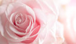 canvas print picture - Close up of tenderness pink  rose.