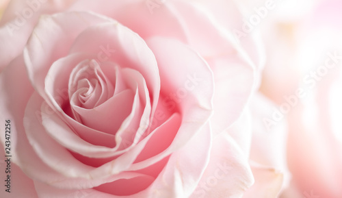 Ingelijste posters Roses Close up of tenderness pink rose.