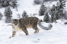 Rare, Endangered Snow Leopard In Snowy Environment
