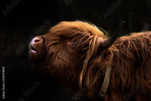 Recess Fitting Highland Cow Schottisches Hochlandrind / Bos Taurus / Highland Cattle