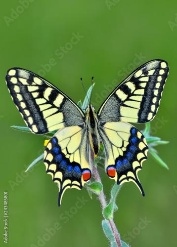 Fototapeta Closeup  beautiful butterflies sitting on flower