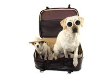 TWO DOGS GOING ON VACATIONS. JACK RUSSELL AND LABRADOR INSIDE A RED VINTAGE SUITCASE. ISOLATED SHOT AGAINST WHITE BACKGROUND.