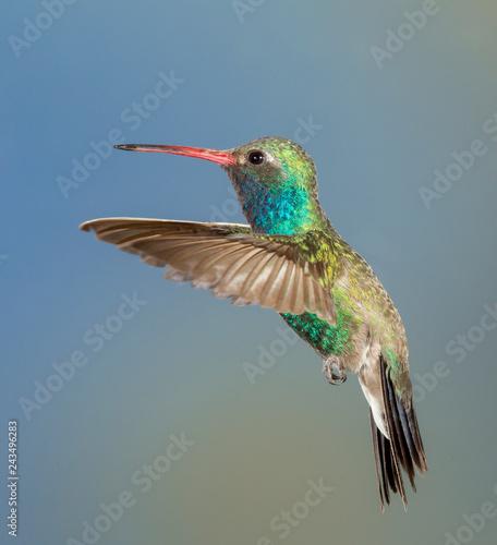 Photo Stands Bird Beautiful Male Broad-billed Hummingbird in Arizona Desert