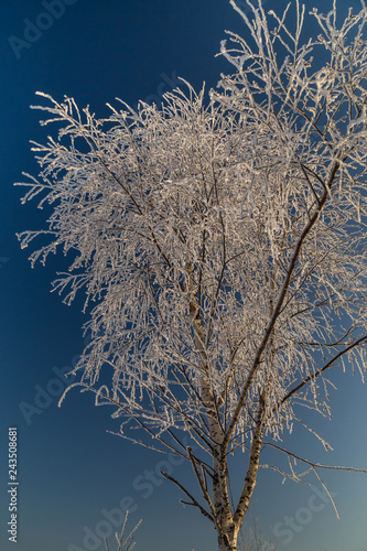 Trees covered with hoarfrost on a sunny winter day