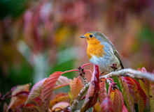 Cute European Robin Sitting On Some Red Autumn Leaves