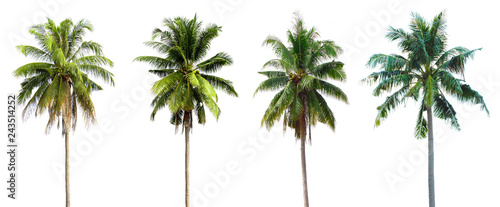Coconut tree, white background
