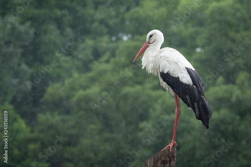 White european stork standing on the pole at rain against a forest background Fototapeta