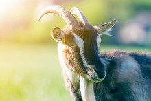Close-up Portrait Of White And Brown Spotty Domestic Shaggy Goat With Long Steep Horns, Yellow Eyes And White Beard On Blurred Yellow And Blue Bokeh Background. Farming Of Useful Animals Concept.