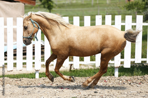 Fototapeta Side view photo of a young horse runs during training in the round pen obraz