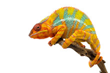 Yellow Blue Lizard Panther Chameleon Isolated On White Background