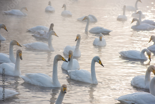 Fotografia  Beautiful white whooping swans swimming in the nonfreezing winter lake