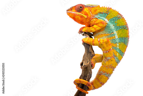 Spoed Foto op Canvas Kameleon Yellow blue lizard Panther chameleon isolated on white background