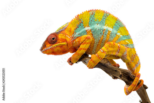 Poster de jardin Cameleon Yellow blue lizard Panther chameleon isolated on white background