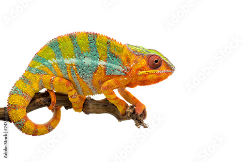 Cadres-photo bureau Cameleon Yellow blue lizard Panther chameleon isolated on white background