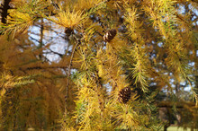 Yellowed Needles Larch Just Be...