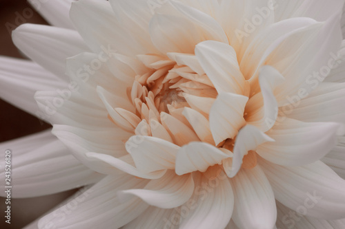 Poster de jardin Dahlia white dahlia flower colored with living coral pantone 2019