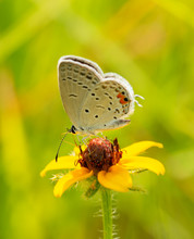 Tiny Little Eastern Tailed-Blue Butterfly Feeding On A Small Blackeyed Susan Flower, Backlit By Summer Sunlight, With Bright Green And Yellow Background