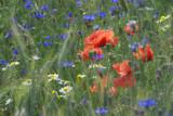 Fototapeta Kwiaty - Kwitnące pole