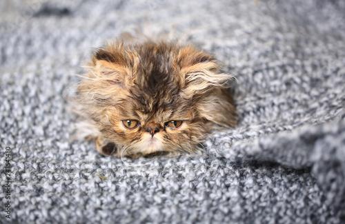 Fotografie, Obraz  cute persian kitten lying on a knitted blanket