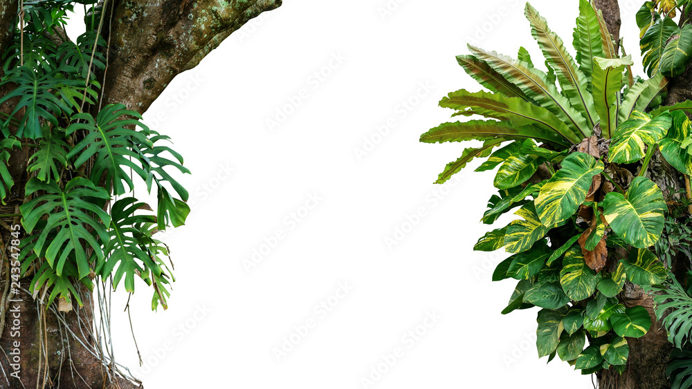 Fototapeta Nature frame of jungle trees with tropical rainforest foliage plants (Monstera, bird's nest fern, golden pothos and forest orchid) growing in wild isolated on white background with clipping path.