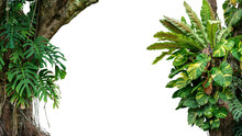 Nature Frame Of Jungle Trees With Tropical Rainforest Foliage Plants (Monstera, Bird's Nest Fern, Golden Pothos And Forest Orchid) Growing In Wild Isolated On White Background With Clipping Path.