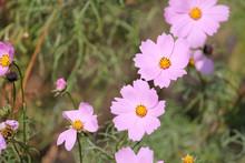 Pink Flowers Of Cosmos Bipinnatus Or Garden Cosmos In Garden