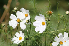 White Flowers Of Cosmos Bipinnatus Or Garden Cosmos In Garden
