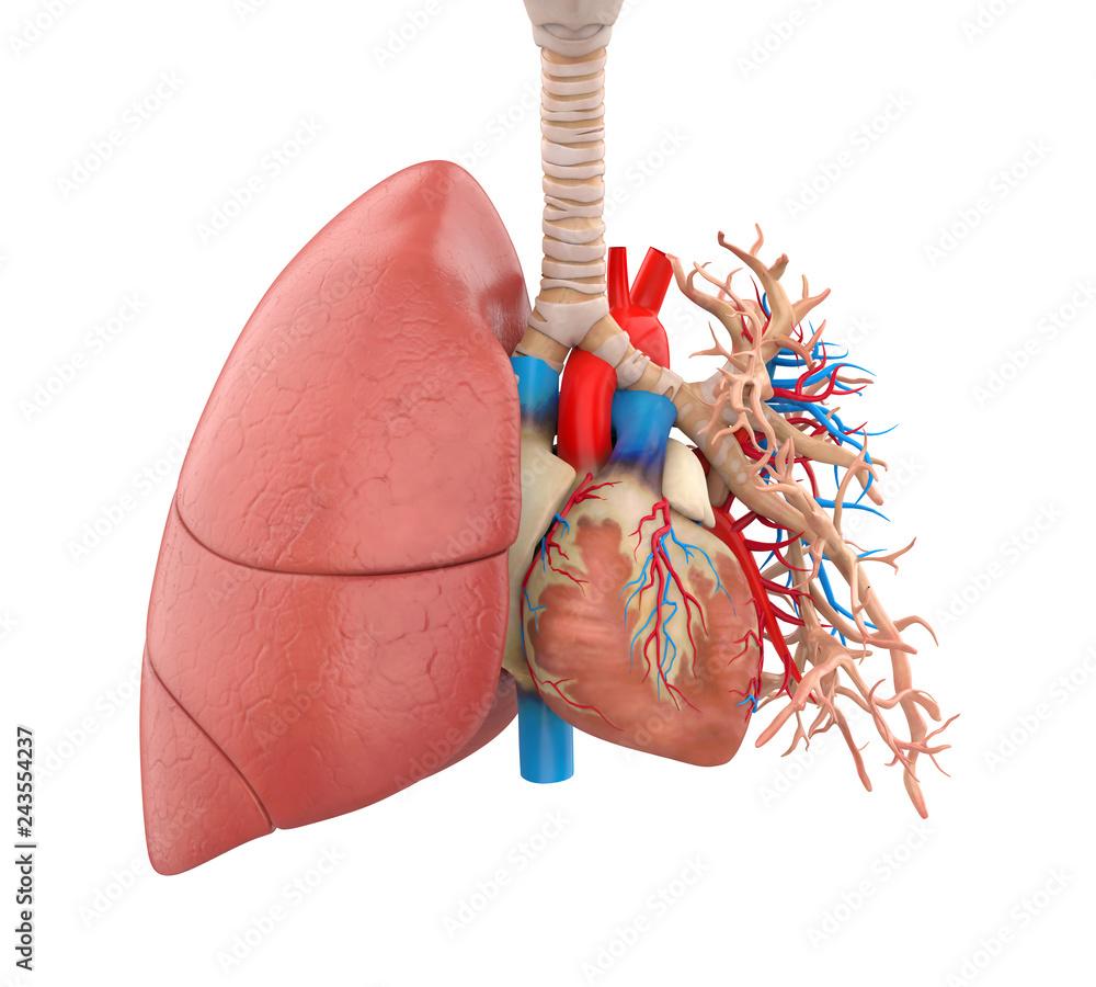 Fototapeta Lungs and Heart Anatomy Illustration