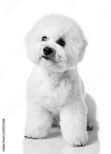 Bichon Frise puppy Fototapeta