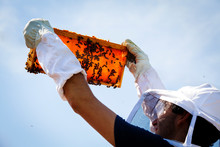 Beekeeper Examining Honeycomb Frame Against Clear Sky At Apiary