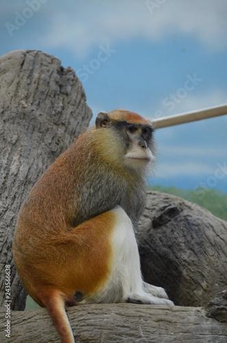 Photo  A Patas Monkey