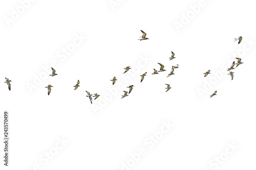 Flock of seagulls isolated on white background.