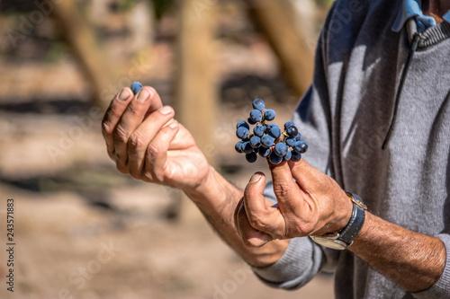 Autocollant pour porte Amérique du Sud Grapes in a Chilean Vineyard - Santiago, Chile