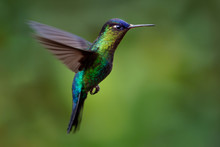 Fiery-throated Hummingbird - Panterpe Insignis Medium-sized Hummingbird Breeds Only In The Mountains Of Costa Rica And Panama