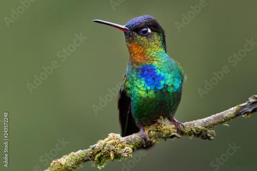 Fiery-throated Hummingbird - Panterpe insignis medium-sized hummingbird breeds o Fototapet