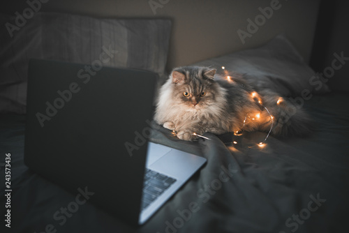 Fotografie, Obraz  Fluffy gray cat is lying around a laptop and lights on a bed with dark bedding, looking sideways