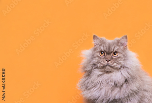portrait cute fluffy gray cat lays on a pastel pink background and looks up on copyspace. Pet is isolated on a pink background.Pet concept.