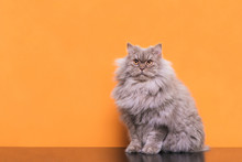 Photo Of A Fluffy Gray Cat Sitting On An Orange Background And Looking Up. Beautiful Cat Is Isolated On An Orange Background. Pet On A Colored Background.