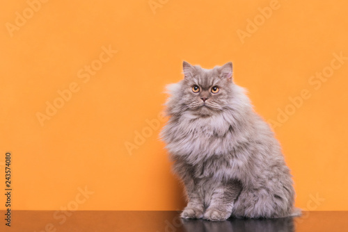 Obraz Photo of a fluffy gray cat sitting on an orange background and looking up. Beautiful cat is isolated on an orange background. Pet on a colored background. - fototapety do salonu