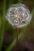 White Dandelion Fluff